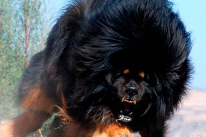Тибетский мастиф: собака, ко…