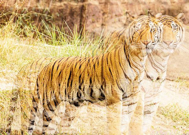 Непал почти удвоил популяцию тигров