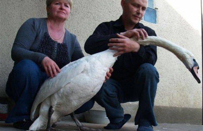 Лебедь вернулся зимовать к человеку, который его спас. интересная история