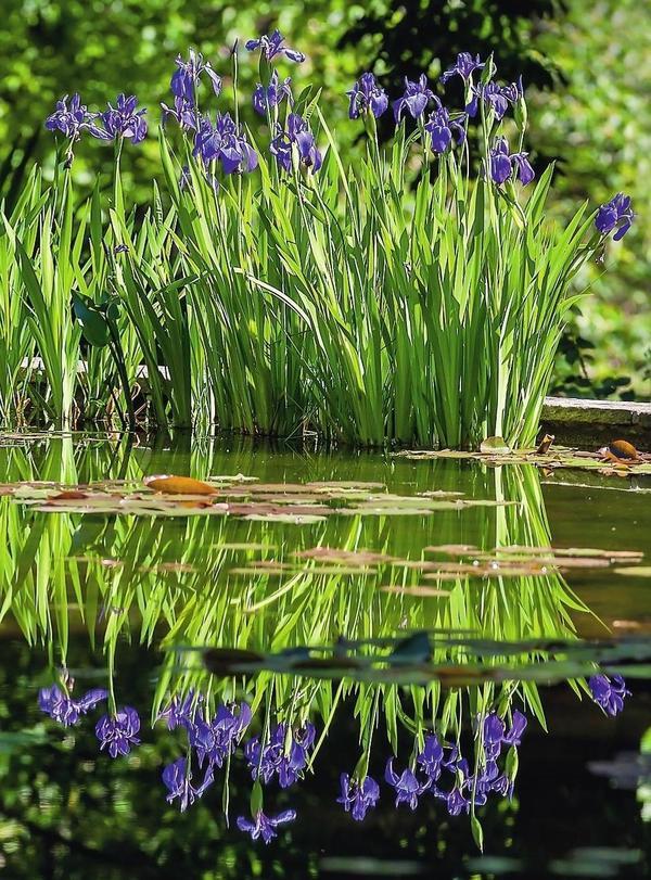 Отражаясь в воде, ирисы приумножат свою красоту