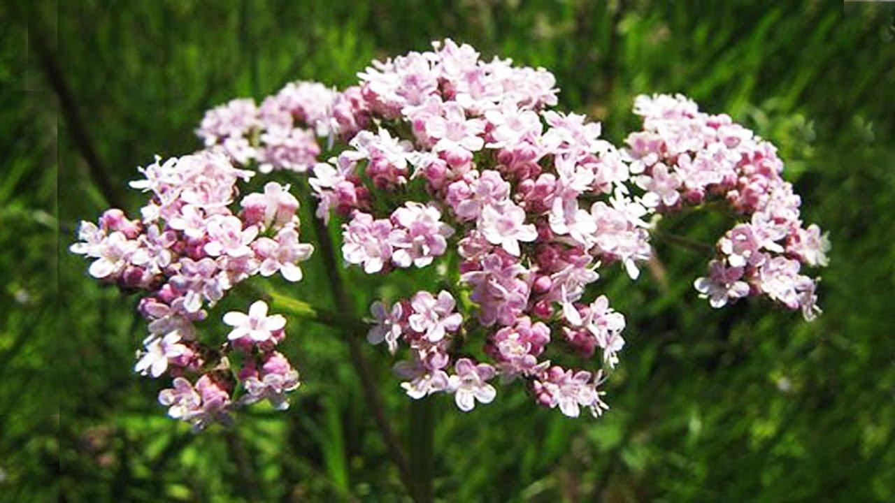 Когда и как применять чудо-растение валериану?