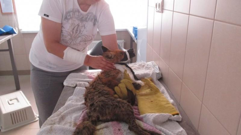 Калининградские волонтеры спасают лисенка с травмированными лапами