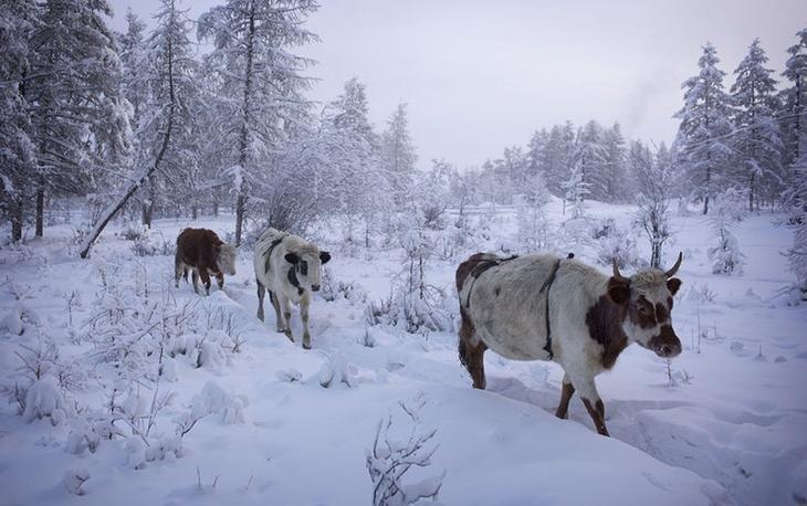 Коровы в лифчиках! Оймякон, зима, интересное, полюс холода, якутия