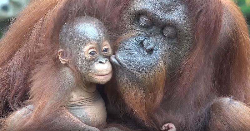 Эта семья орангутангов покор…