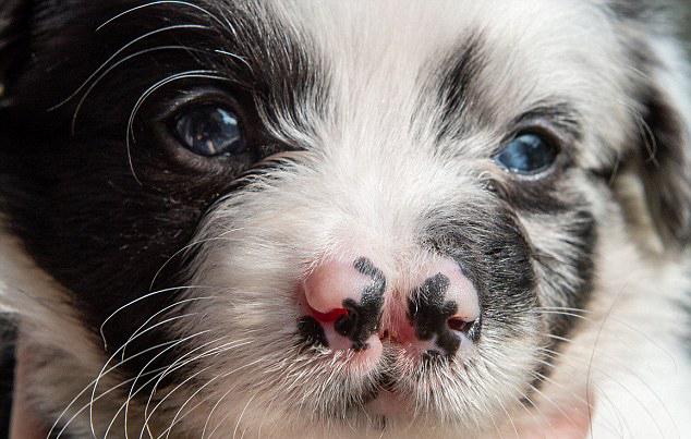 Пятачок, как у свинки: щенок родился сразу с двумя носами, и малыша ждут испытания