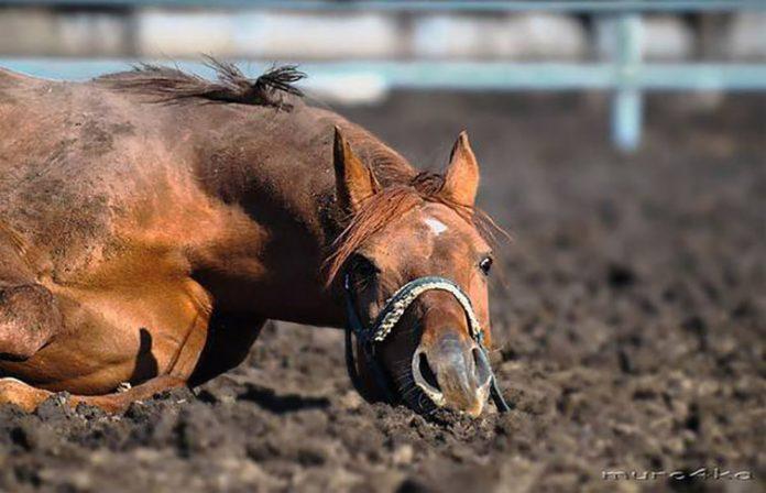 Владелец скаковой лошади ста…