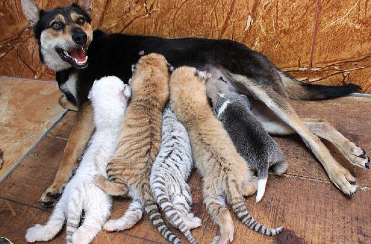Собака стала матерью для четырех тигрят