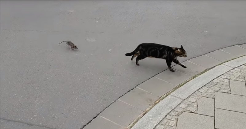 Непростые отношения кота и крысы