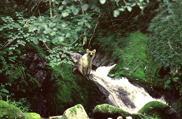 На Курильских островах нашли «серебряных» бурых медведей