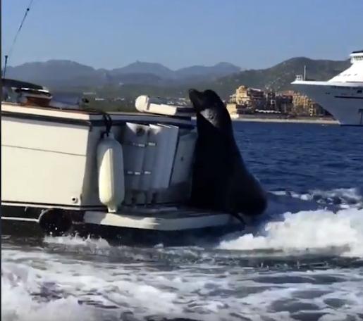 Устав плыть самостоятельно, тюлень решил прокатиться с ветерком на попутной лодке