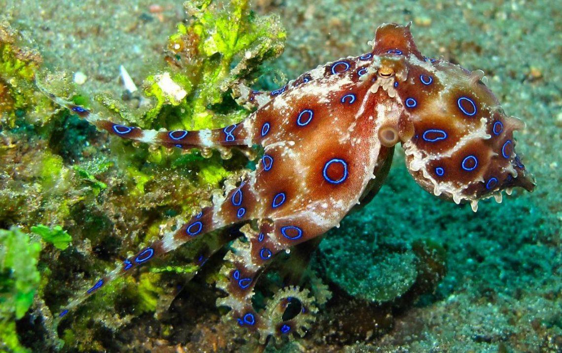 Синекольчатый осьминог, как правило, не вырастает больше 12—25 см, однако силы его яда достаточно, чтобы убить человека.