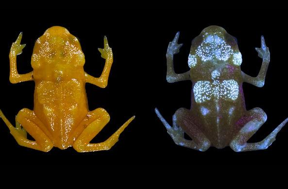В Бразилии нашли светящихся в темноте жаб