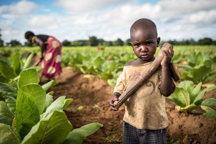 Малавийские плантации табака