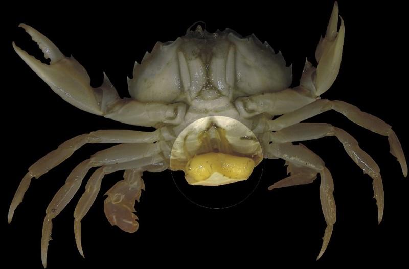 9. Sacculina carcini выживание, жизнь, паразиты, природа, смерть