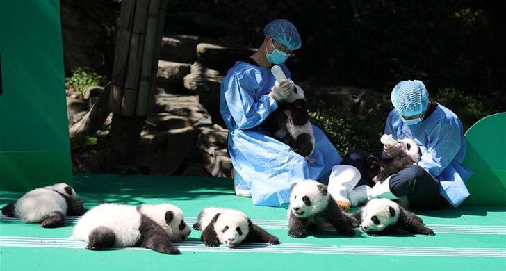 В Чэнду показали 12 детенышей панды