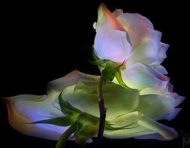 Цветы в светографике