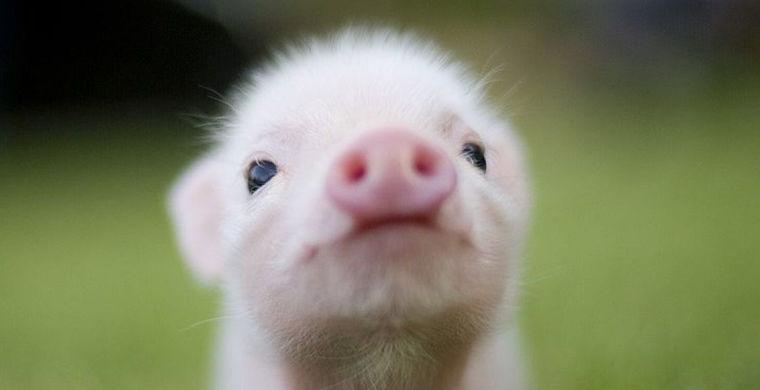 Полицейский спасался бегством от свина