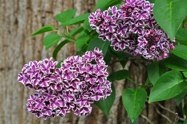 Сирень «Cенсация» — украшение вашего сада