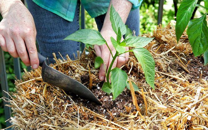 Чтобы поддерживать необходимую влажность почвы на грядке с перцем, воспользуйтесь способом мульчирования