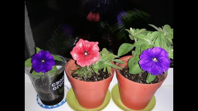 Как сохранить петунию до весны с помощью черенков?