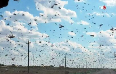 На Астраханскую область обрушились полчища саранчи. Видео