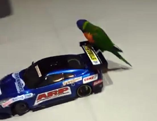 Попугай обожает кататься на радиоуправляемой машинке