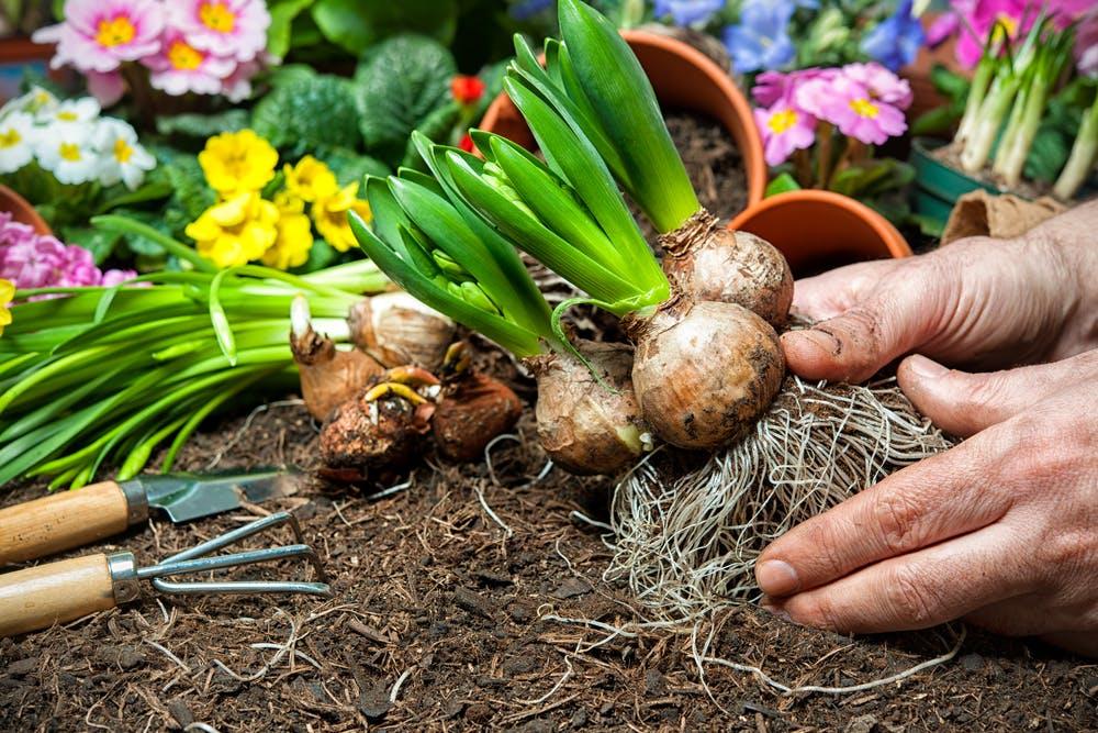 На какую глубину сажать луковицы цветов