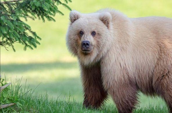 На Аляске сфотографировали медведя-блондина