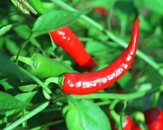 Красный горький перец: польза и вред для организма