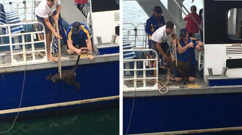 В Австралии спасли заплывшего слишком далеко кенгуру