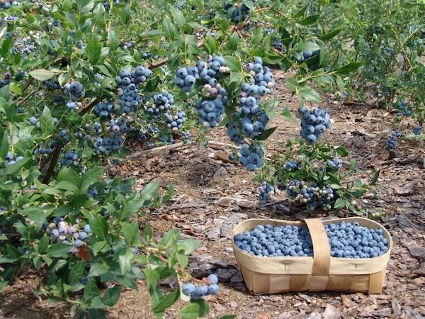 Пять ошибок при выращивании голубики, которые лишают нас урожая