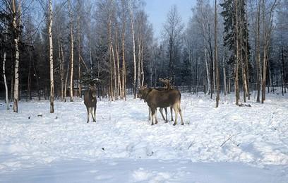 """Две маленькие лосихи поселились в национальном парке """"Зюраткуль"""""""