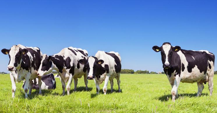 Во Флориде коровы помогли задержать угонщицу