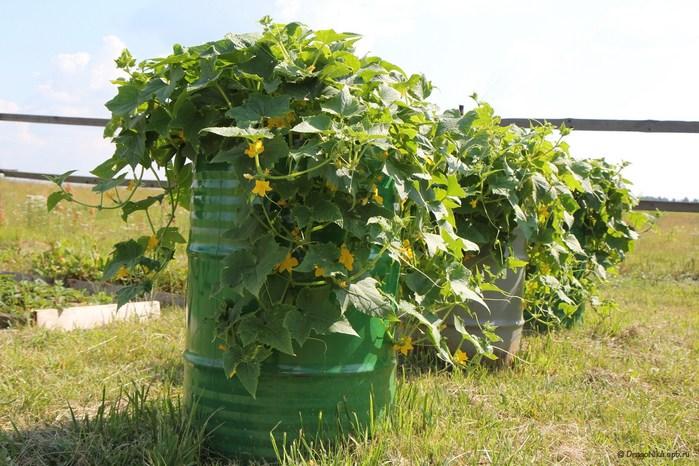 Супер-идея выращивания огурцов в бочке!