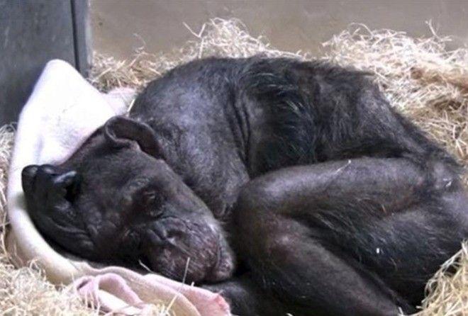 Старая умирающая шимпанзе ни…