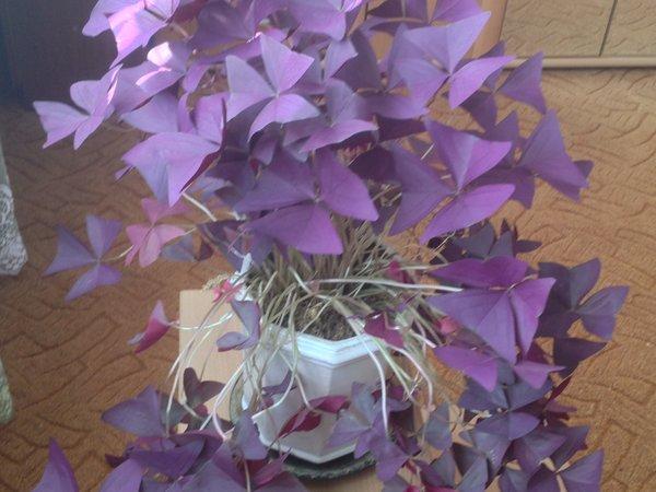 Кислица- злейший сорняк, кот…