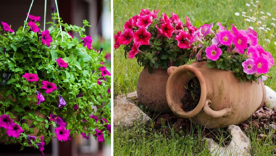 Изысканная петуния: великолепное украшение любого сада