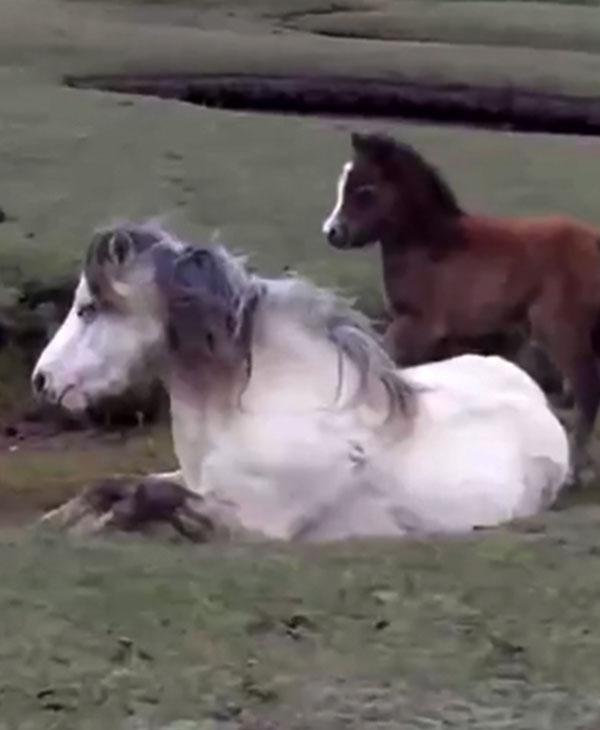 Мама-лошадь попала в беду, ее жеребенок не отходил от нее ни на шаг...