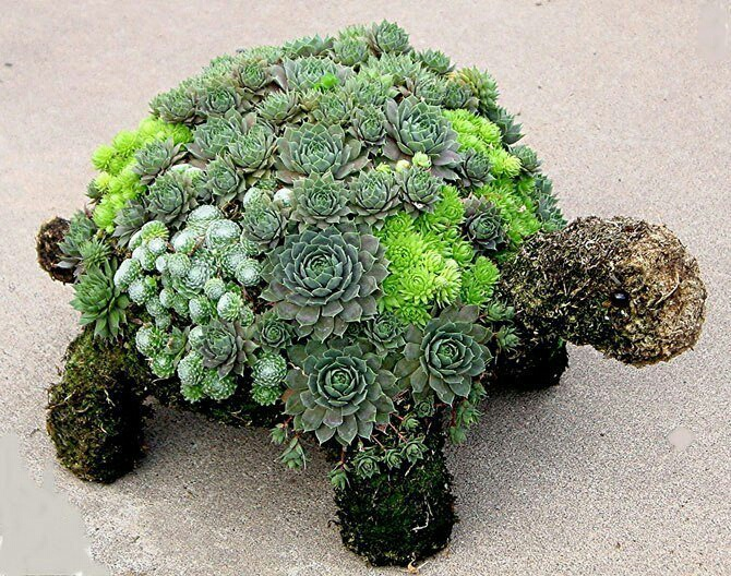 Суккулентная черепаха