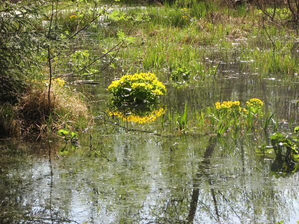 Цветущее болото