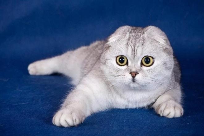 Вислоухие кошки: особенности породы, черты характера, уход, где купить