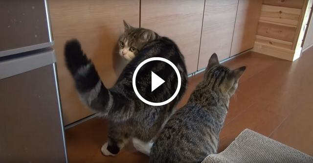 Кот сам не смог открыть шкаф и позвал на помощь друга