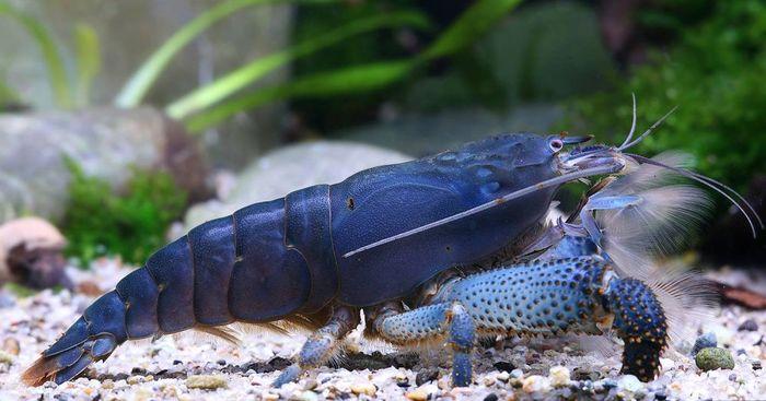 Не рыбой единой... аквариум, аксолотль, Улитка, моллюск, раки, длиннопост