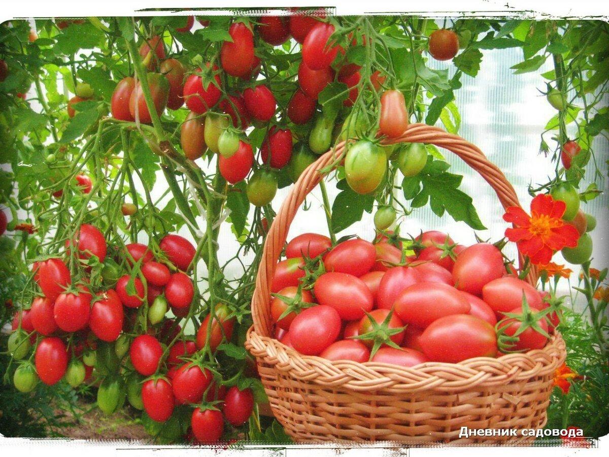 Что посадить рядом с томатом: лучшие соседи — хороший урожай обеспечен