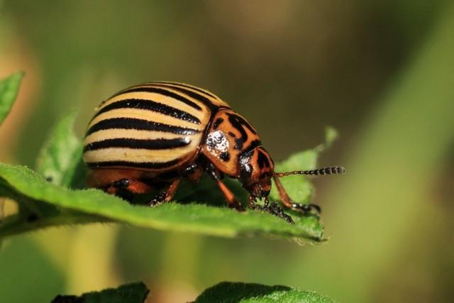Колорадский жук — современные технологии уничтожения вредителя