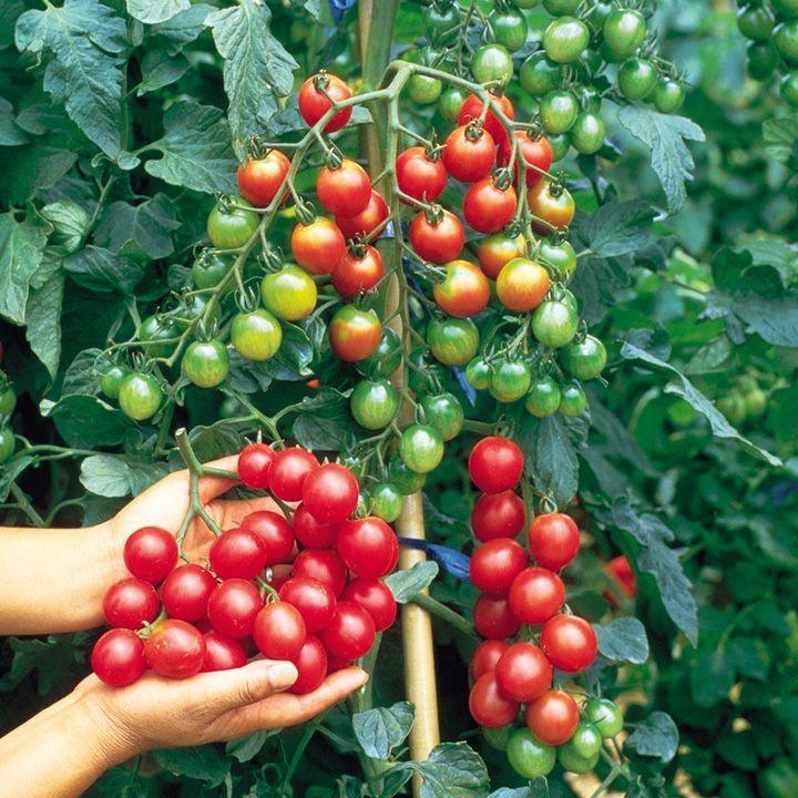 Израильские ученые вывели удивительные помидоры