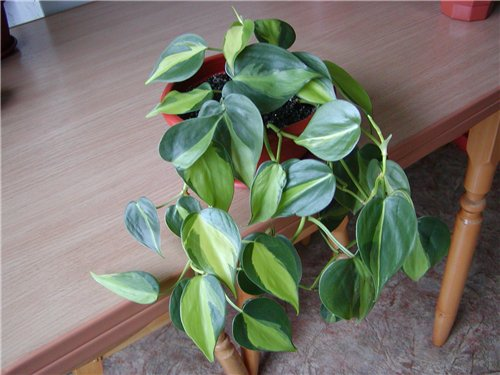 Photo of philodendron mcdowell uploaded by skylark