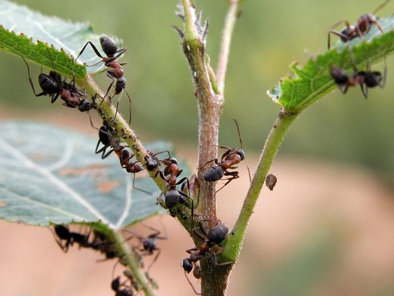 борная кислота для растений как развести