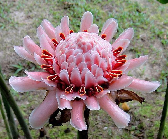 Так цветет имбирь
