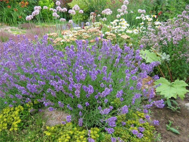 http://zpitomnik.ru/images/annual/lavender_angustifolia/3.jpg